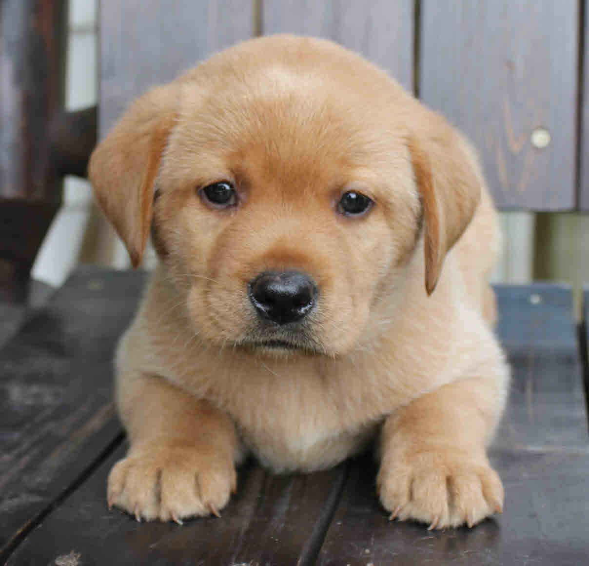 blue puppy 5 weeks
